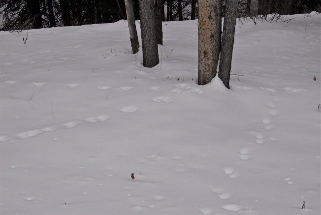 Squirrel tracks lead to a tree, then away from it. On the right, marten running. Tracks paired and farther apart.