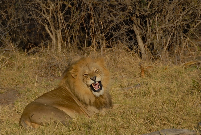 Lion laughing