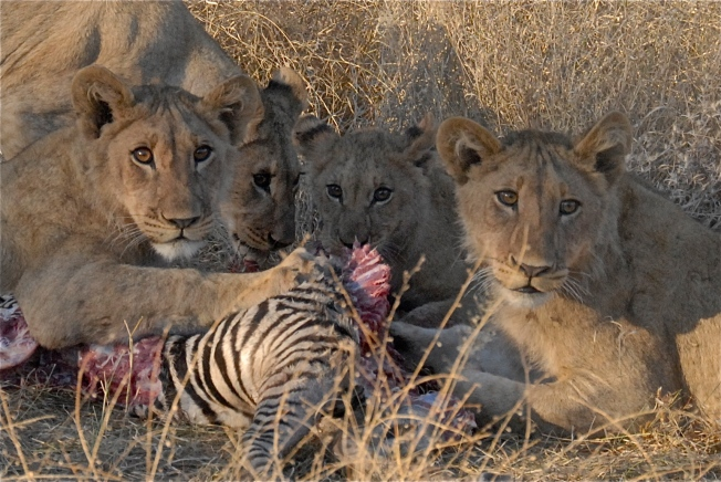 Four cubs dining