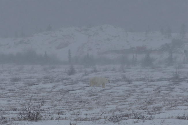 Our first bear, dimly seen through the mist and snow.