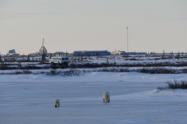 Mother and cub heading for downtown Churchill.