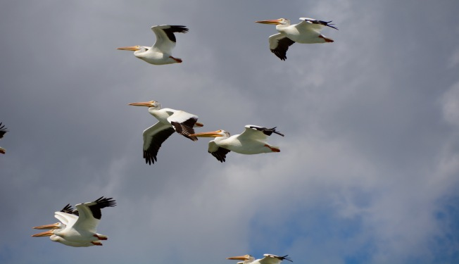 American white pelicans. NH
