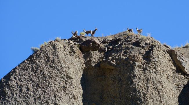 Sheep. NH