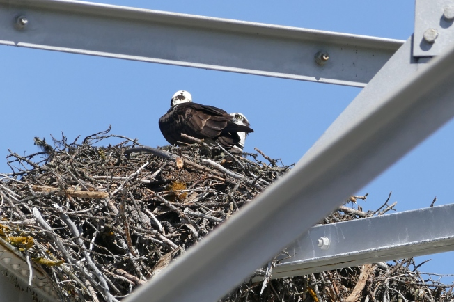 Female on nest, male on edge.